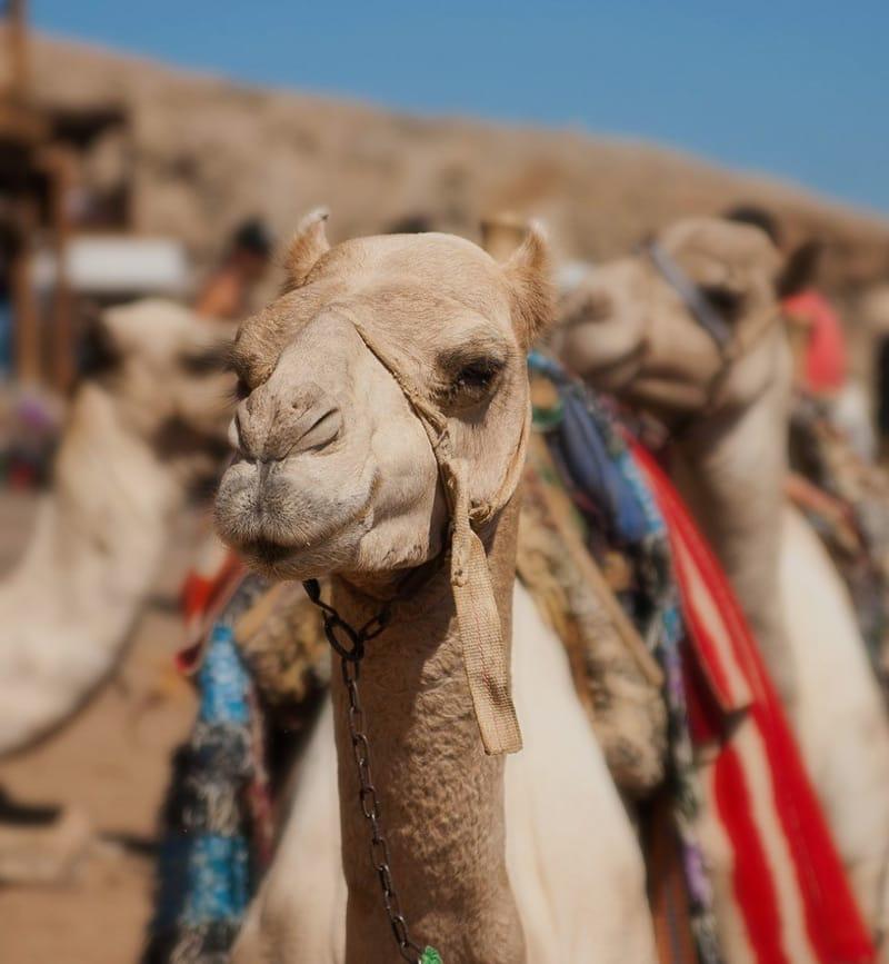 Camels around Dahab